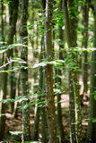 Young beech forest Royalty Free Stock Photography