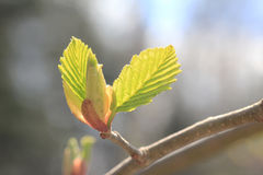 Young beech leaves  Stock Photography
