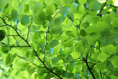 Young beech leaves in spring Royalty Free Stock Photo