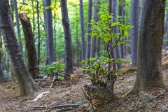 Young beech sapling in summer Royalty Free Stock Photo