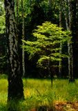 Young beech in spring. Illustrations,woods landsape royalty free stock photography