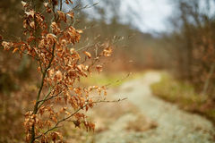 Young beech tree with dead leaves Royalty Free Stock Images