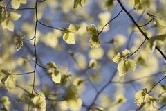 Young beech tree leaves Royalty Free Stock Photo