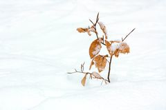 Young beech in winter Royalty Free Stock Photography