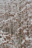 Young beeches sprinkled with snow. South Bohemia, Czech Republic Royalty Free Stock Photography