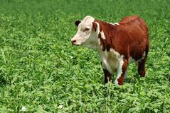 Young beef cow Stock Photography