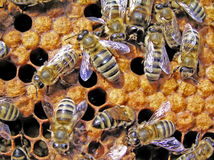 Young bees. Stock Photography