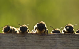Young bees Stock Photo