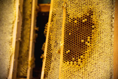 Young bees, male drones on a honey frame. Young bees, male drones on a honeycomb frame in waxen honeycombs stock image