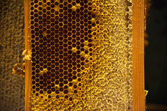 Young bees, male drones on a honey frame. Young bees, male drones on a honeycomb frame in waxen honeycombs royalty free stock photos