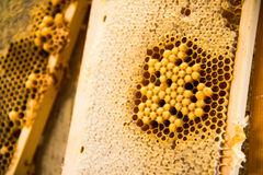 Young bees, male drones on a honey frame. Young bees, male drones on a honeycomb frame in waxen honeycombs stock images