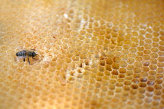 Young bees work on honeycomb Royalty Free Stock Images