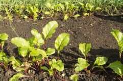 Young beet plants in the garden, the concept of healthy food and natural organic products Royalty Free Stock Photos