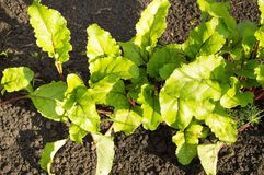Young beet plants in the garden, the concept of healthy food and natural organic products Stock Images