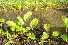 Young beet plants in the garden, healthy food concept and natural organic products, Sunny summer day. Leaves tops vegetable vitamin vegan agriculture crop fresh royalty free stock photos