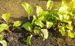 Young beet plants in the garden, healthy food concept and natural organic products, Sunny summer day. Leaves tops vegetable vitamin vegan agriculture crop fresh stock photos