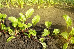 Young beet plants in the garden, healthy food concept and natural organic products, Sunny summer day. Leaves tops vegetable vitamin vegan agriculture crop fresh stock images