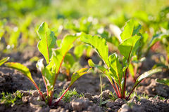 Young beet sprouts on  bed Royalty Free Stock Photography