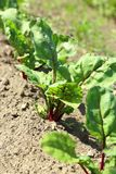 Young beetroot Royalty Free Stock Photo