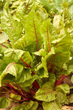 Young beetroot leaves Royalty Free Stock Images