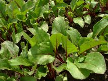 Young beetroot plants Royalty Free Stock Images