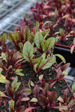 Young Beetroot Plants Royalty Free Stock Image