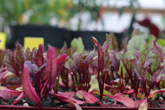 Young Beetroot Plants Royalty Free Stock Photography
