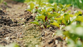 Young beetroots growing in ecologic garden. Beautiful springtime garden in morning sunlight stock footage