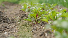Young beetroots growing in ecologic garden. Beautiful springtime garden in morning sunlight stock video footage