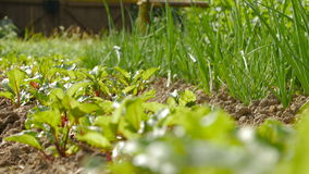 Young beetroots growing in ecologic garden. Beautiful springtime garden in morning sunlight. Rack focus stock video