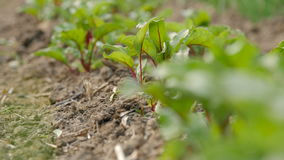 Young beetroots growing in ecologic garden. Beautiful springtime garden in morning sunlight. Rack focus stock footage