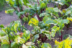 Young beetroots growing in ecological garden Stock Photos