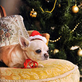 Young beige chihuahua dog in Santa hat Stock Photo