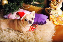 Young beige chihuahua dog in Santa hat posing Royalty Free Stock Photos