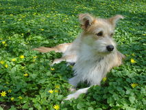 Young beige dog lying among yellow wild flowers Royalty Free Stock Photography