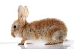 Little bunny rabbit on white background Stock Images