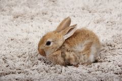 Little bunny rabbit in the house royalty free stock photography
