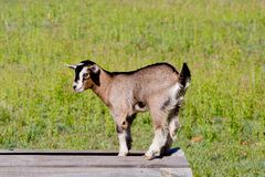 Young Beige Goat Kid Standing On Wooden Platform Stock Images