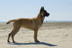 Young belgian shepherd Stock Image