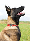 Young belgian shepherd Stock Photos