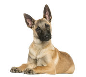 Young Belgian Shepherd lying down and staring, 5 months old Stock Photography