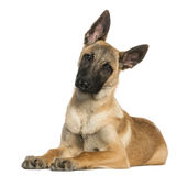 Young Belgian Shepherd lying down and staring, 5 months old. Isolated on white Stock Photos