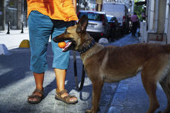 Young Belgian Shepherd with It's Owner and Carrying Ball Royalty Free Stock Photography