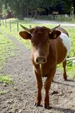 Young belted bull. Young brown belted lakenvelder bull, a dutch heritage cattle breed royalty free stock photography