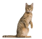 Young Bengal cat, 7 months old, standing royalty free stock photo