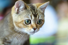 Young Bengal cat Royalty Free Stock Photos