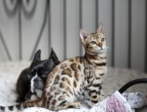 Young Bengal Cat kitten with Boston Terrier stock photos