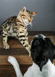 Young Bengal Cat kitten with Boston Terrier royalty free stock images