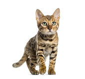 Young Bengal cat (5 months old), isolated Royalty Free Stock Photos