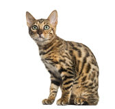 Young Bengal cat sitting (5 months old), isolated Stock Image